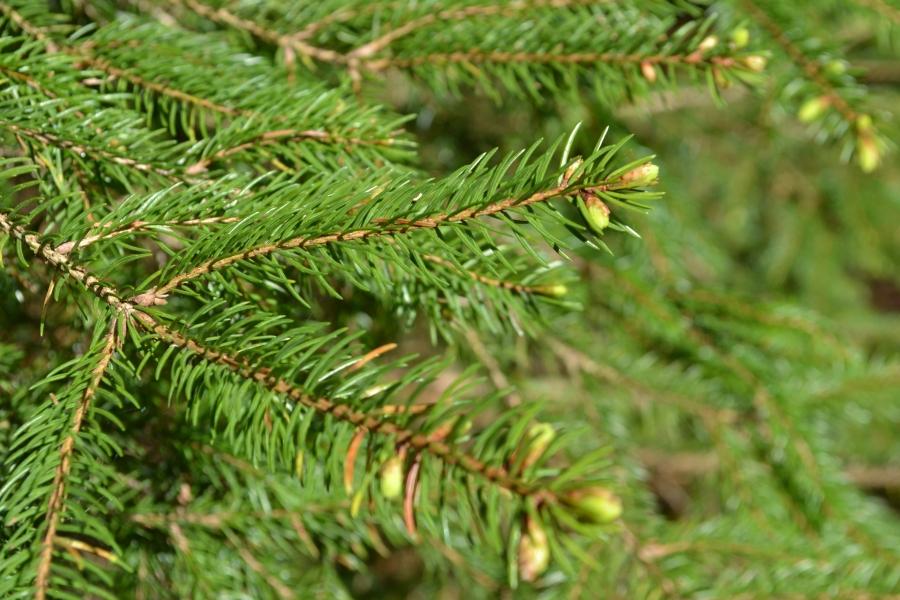Growing Christmas Trees Perrie Hale Nursery Uk Grown